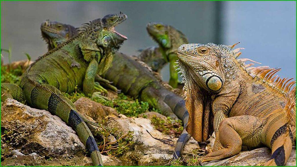 DATOS INTERESANTES SOBRE LAS IGUANAS bonitas y exóticas iguana grupos