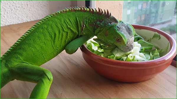 Los mejores alimentos para una iguana – alimentos básicos que puedes alimentar diariamente