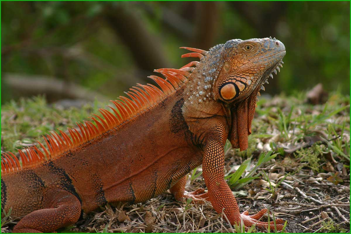 DATOS INTERESANTES SOBRE LAS IGUANAS bonitas y exóticas iguana territorial
