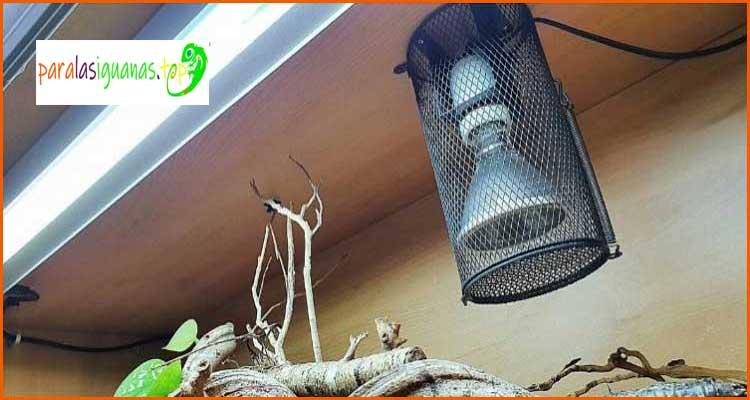 Calor de iguana verde