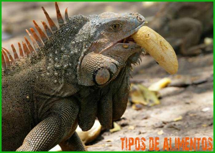 Tipo de comida para alimentar a tu iguana