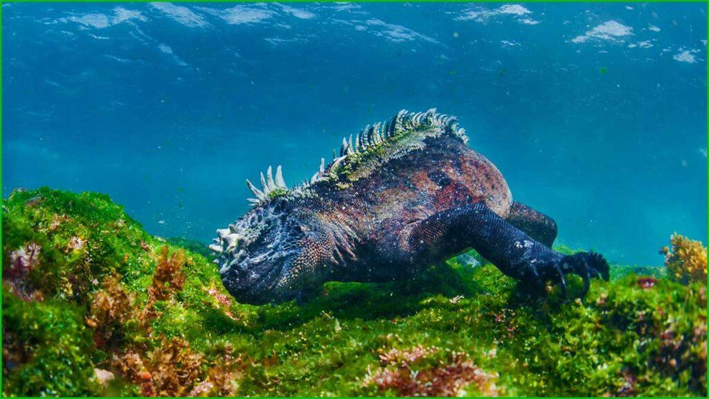 DATOS INTERESANTES SOBRE LAS IGUANAS bonitas y exóticas iguana marina alimentándose
