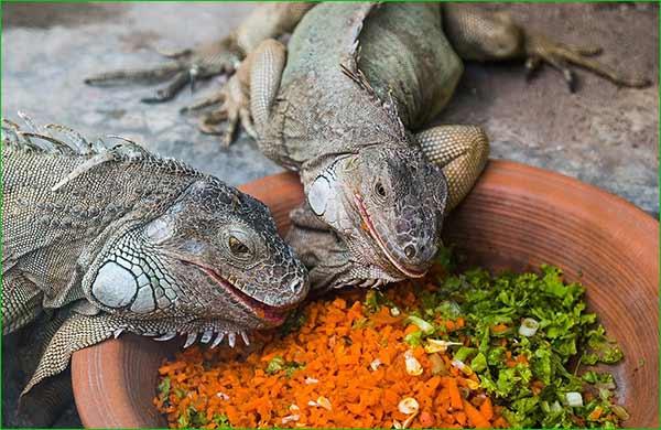 Relaciónes Ca:P, alimentos goitrogénicos y oxálicos en la dieta de la iguana