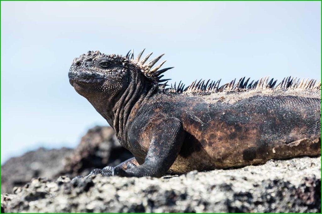 DATOS INTERESANTES SOBRE LAS IGUANAS bonitas y exóticas iguana marina