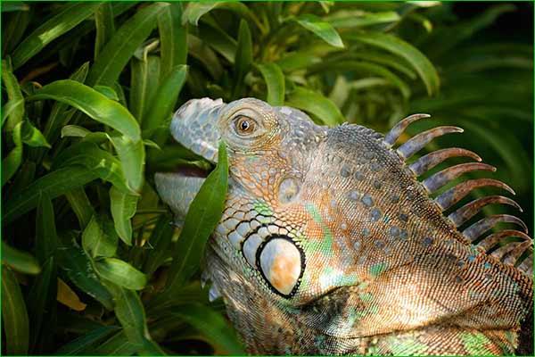 ¿Con qué frecuencia comen las iguanas?