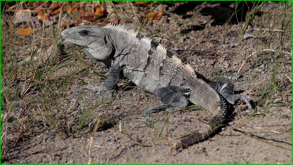 DATOS INTERESANTES SOBRE LAS IGUANAS bonitas y exóticas iguana de cola espinosa