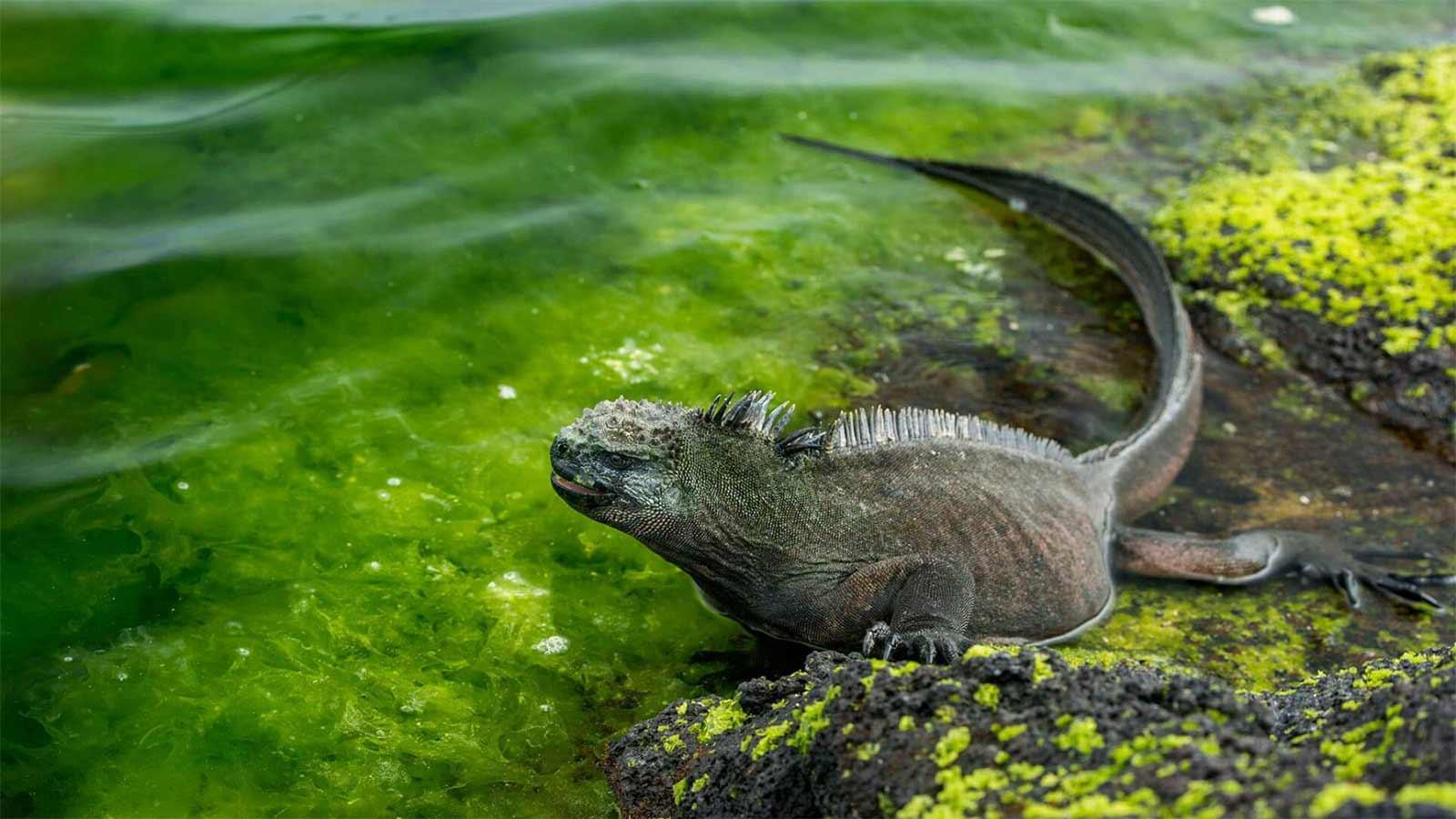 La iguana y otras especies de animales de Islas Galápagos se sienten libres de nuevo, todo gracias a la pandemia del coronavirus.