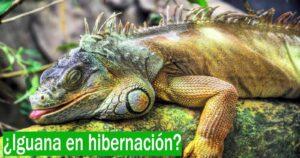 La iguana se está adaptando a las temperaturas del frío invierno