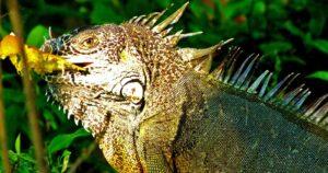 """Iguana Hábitat� ¿Donde viven las iguanas?"