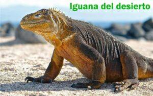 "IGUANAS DEL DESIERTO "" DIPSOSAURUS """