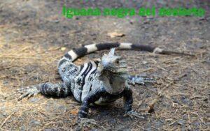 Iguana Negra del Desierto