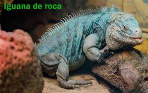 Iguana de Roca