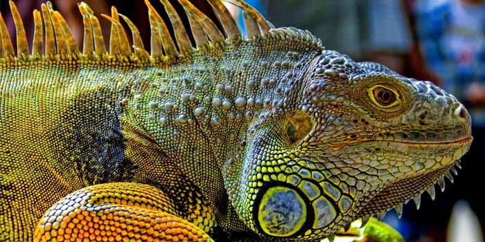 Los 6 reptiles más exóticos, raros y bellos   Posición #1 - Iguana verde