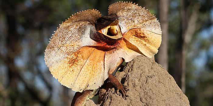 Los 6 reptiles más exóticos, raros y bellos   Posición #2 - Dragón con volantes