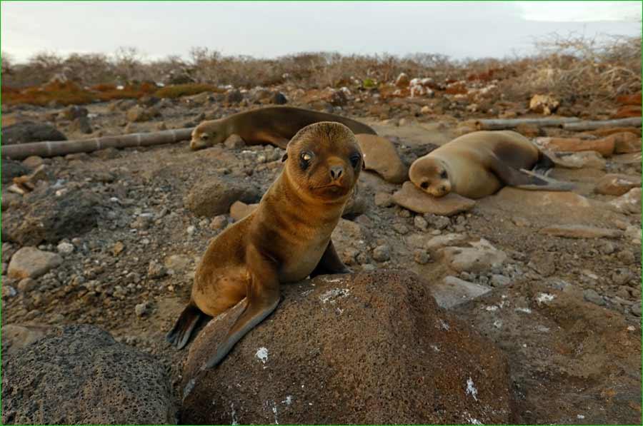 La iguana y otras especies de animales de Islas Galápagos se sienten libres de nuevo - leon marino bebé
