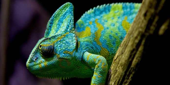 Los 6 reptiles más exóticos, raros y bellos   Posición #3 - Camaleón