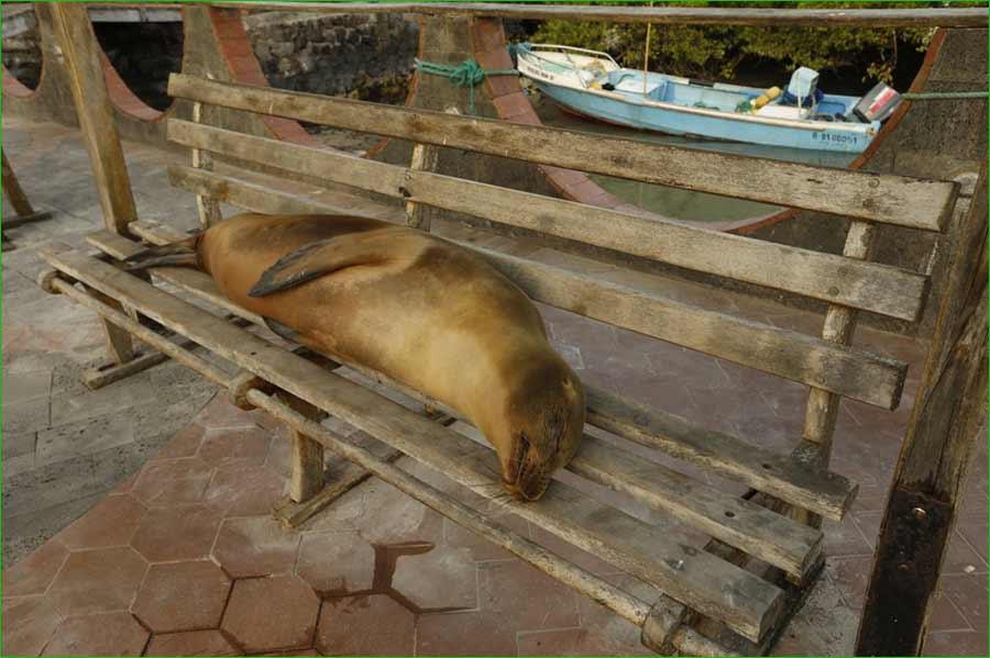 La iguana y otras especies de animales de Islas Galápagos se sienten libres de nuevo - Un lobo marino descansa