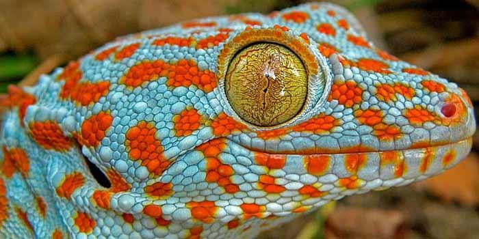 Los 6 reptiles más exóticos, raros y bellos   Posición #5 - Gecko
