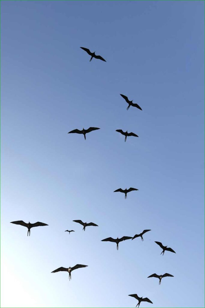 La iguana y otras especies de animales de Islas Galápagos se sienten libres de nuevo - Las fragatas vuelan