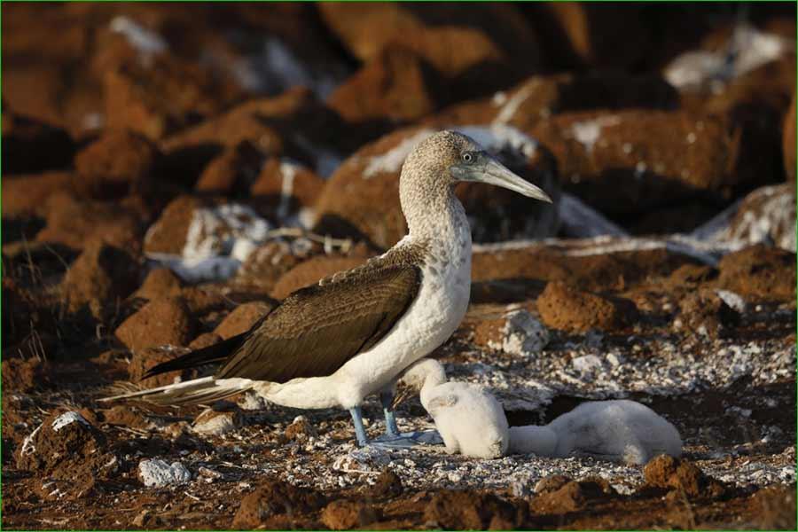 La iguana y otras especies de animales de Islas Galápagos se sienten libres de nuevo - Un piquero de patas azules con sus polluelos