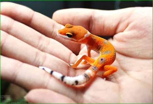 IGUANA VS GECKO VS LAGARTIJA (DIFERENCIAS Y COMPARACIÓN) - colores del gecko