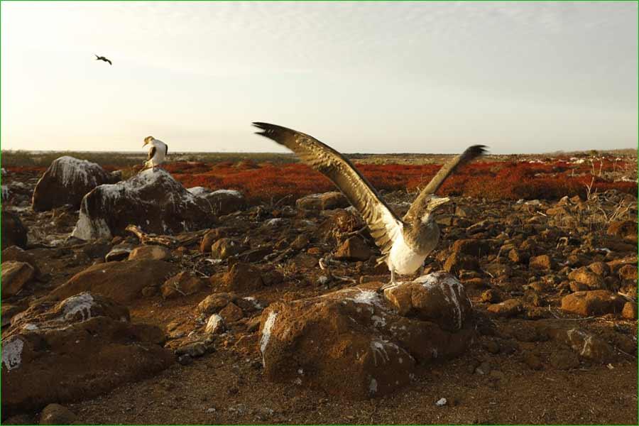 La iguana y otras especies de animales de Islas Galápagos se sienten libres de nuevo - Un piquero juvenil se alista al vuelo