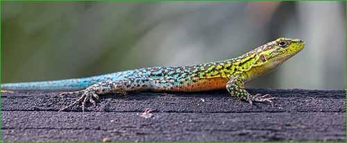 IGUANA VS GECKO VS LAGARTIJA (DIFERENCIAS Y COMPARACIÓN) - colores de la lagartija