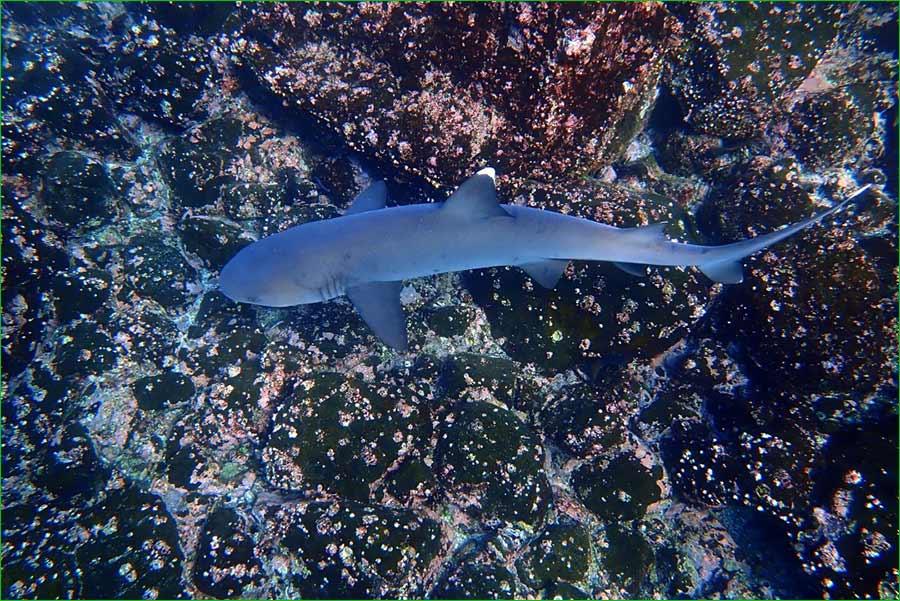 La iguana y otras especies de animales de Islas Galápagos se sienten libres de nuevo - Un tiburón de punta blanca ronda los arrecifes