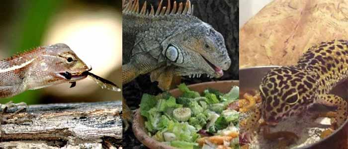 ¿Qué come un gecko, una lagartija y una iguana?