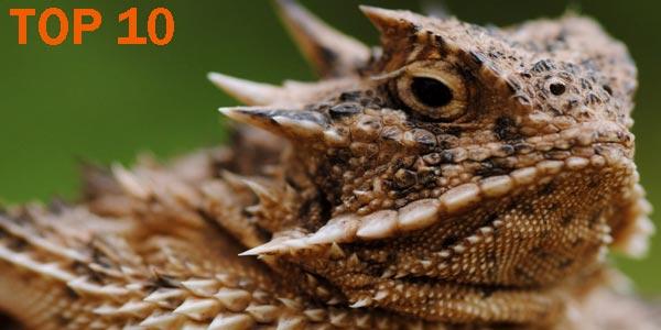 Lagarto cornudo - 10 Reptiles más Bellos, Exóticos y Salvajes