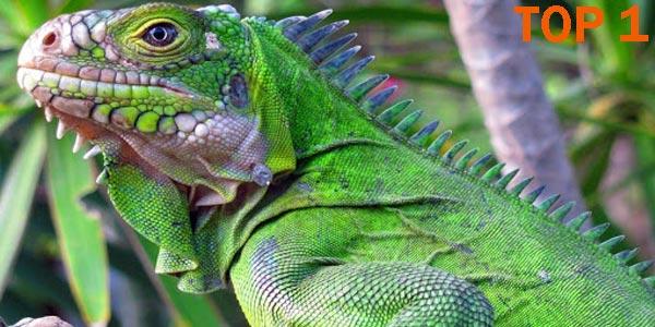 Iguana - 10 Reptiles más Bellos, Exóticos y Salvajes