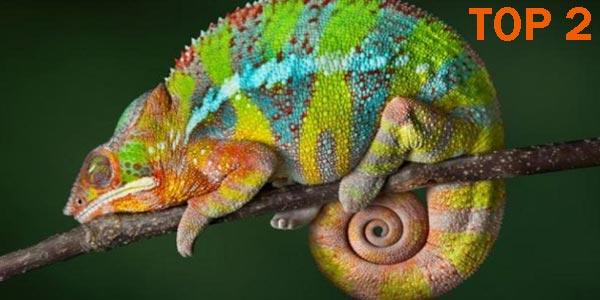 Camaleón - 10 Reptiles más Bellos, Exóticos y Salvajes