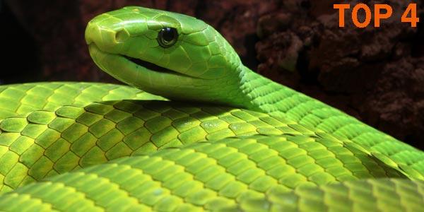 Mamba - 10 Reptiles más Bellos, Exóticos y Salvajes