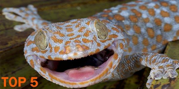 Gecko - 10 Reptiles más Bellos, Exóticos y Salvajes