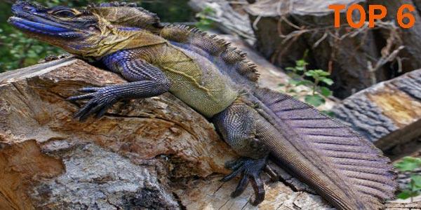 Hidrosaurio Crestado Filipino - 10 Reptiles más Bellos, Exóticos y Salvajes