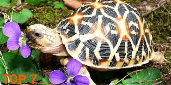 Tortuga estrellada de Madagascar - 10 Reptiles más Bellos, Exóticos y Salvajes