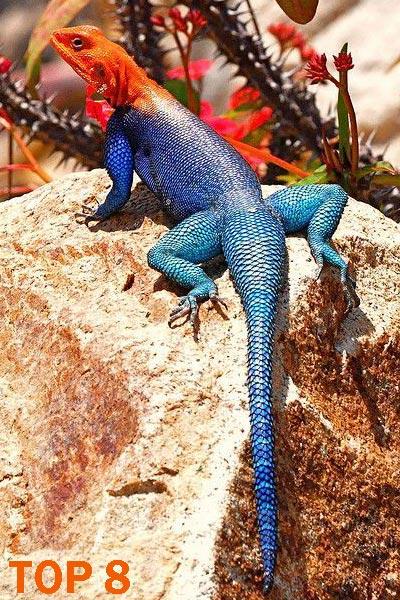 Agama arcoíris - 10 Reptiles más Bellos, Exóticos y Salvajes