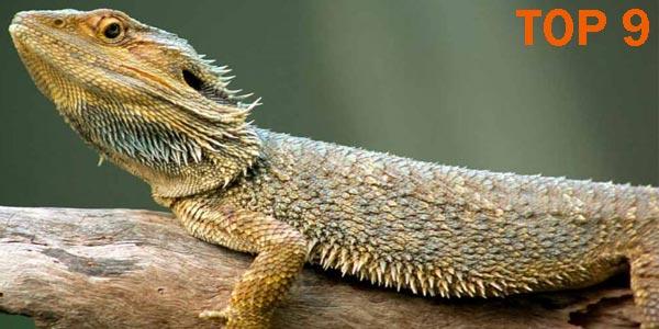 Dragón barbudo - 10 Reptiles más Bellos, Exóticos y Salvajes